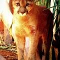 Puma, Onça-parda ou Suçuarana / </em> Puma concolor </em>