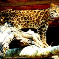 Gato-do-mato-pequeno / <em> Leopardus tigrinus </em>