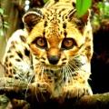 Gato-Maracajá / <em> Leopardus wiedii </em>