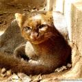 Jaguarundi ou Gato-mourisco / <em> Puma yagouaroundi </em>
