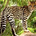 Jaguatirica / <em> Leopardus pardalis </em>