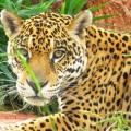 Onça-pintada / <em> Panthera onca </em>