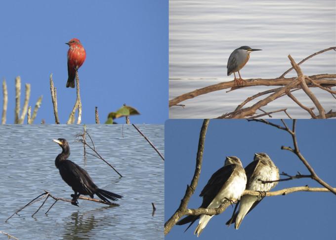 SJapi Bio Fauna Aves Príncipe, Socozinho, Andorinha-do-Campo e Biguá
