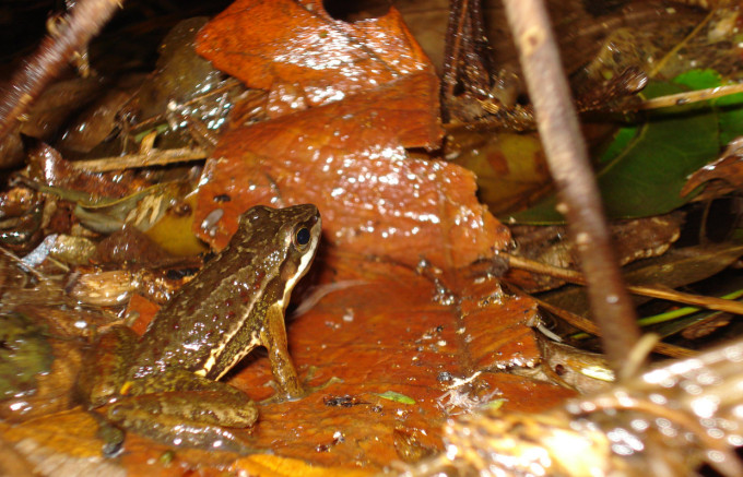 SJapi Bio Fauna rãzinha-da-correnteza Hylodes
